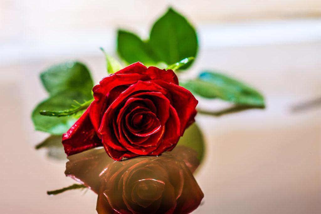 真っ赤なバラ 一輪