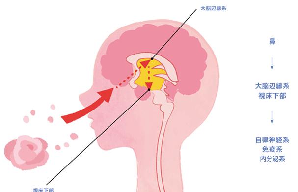 香りのメカニズム 脳のイラスト